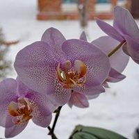 Орхидея :: Галина