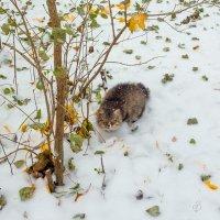 По первому снегу :: Виталий