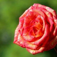 Царица среди цветов :: Dr. Olver  ( ОлегЪ )