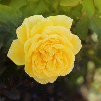 Розы 2016 :: TATYANA PODYMA