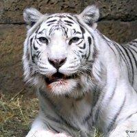выдержать взгляд кошки :: Олег Лукьянов