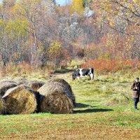 Фотосессия с коровой :: Валерий Талашов