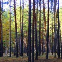 Леса сосновые. :: Валентина ツ ღ✿ღ