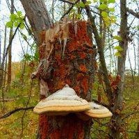 грибы на деревьях :: Даша Щиголь