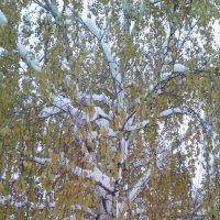 Береза под снегом... :: марина ковшова