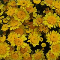 Как маленькие солнышки, светились хризантемки... :: Нина Корешкова