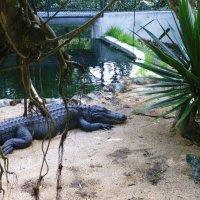 Один крокодил :: Ольга Васильева