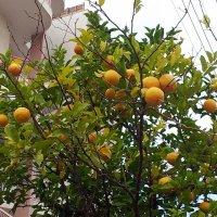 Цитрусовое дерево. :: Валерьян