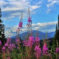 Цветёт иван-чай :: Сергей Чиняев
