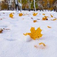 Золотая осень в  снежной шубе. :: Igor Shoshin