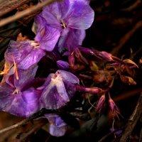 в лиловом цвете :: Евгения Ряпасова