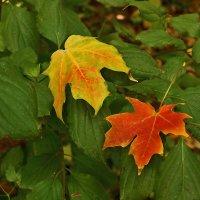 Лист зеленый, желтый, красный... :: Светлана