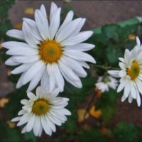 Хризантемы из нашего двора :: Нина Корешкова
