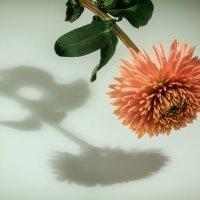 Хризантема и тень. :: александр мак mak