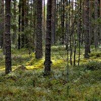 Брусничник в хвойном лесу. :: Владимир Ильич Батарин