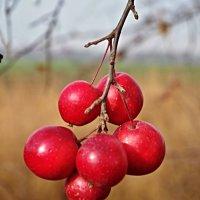 райские яблочки :: юрий иванов