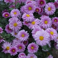 Цветы поздней осени :: MPS