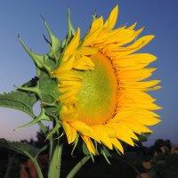 Цветок солнца :: Андрей Козов