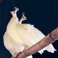 Белые павлины :: Nina Streapan