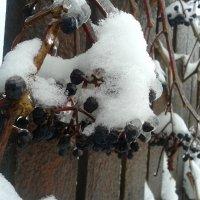 Зимний виноград :: Мила