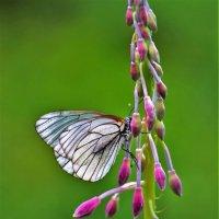 Бабочка на кипрее :: Сергей Чиняев
