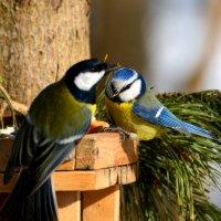 синички :: linnud