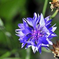 blue cornflower flower among green grass :: valery60