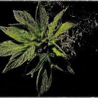 Кленовые листочки ранней весной :: Нина Корешкова