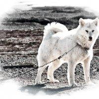 Ездовая собака :: Alexander Dementev