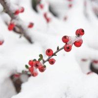 Ягоды на снегу :: Андрей Майоров