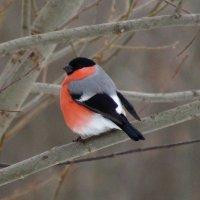 Яркая птица зимы :: Андрей Снегерёв