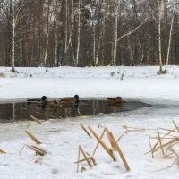 На замерзающем пруду :: Александр Орлов