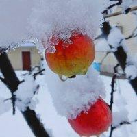Снег на яблоках :: Владимир