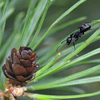 Сосновый  муравей :: Геннадий С.