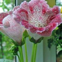 Красавица глоксиния :: ivolga
