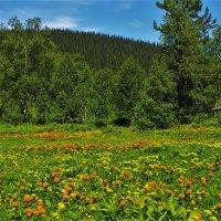 Цветут лесные поляны :: Сергей Чиняев