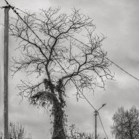 "Дерево в винограде. ""Ножки замерзли"" :: Сергей"