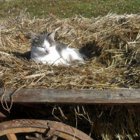 Кошка на сене. :: Наталья
