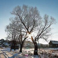 Солнечный поцелуй двух деревьев :: Марина Marina