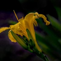 желтая лилия :: gribushko грибушко Николай