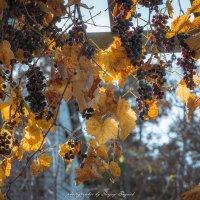 виноград :: Sergey Bagach