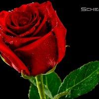Роза :: scherbinator SHCHERBYNA