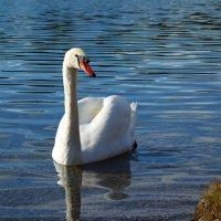 """""""...Лебедь чистый, лебедь белый!...."""" :: Galina Dzubina"""