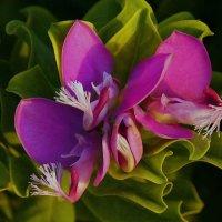 Цветок кипрский :: kolyeretka