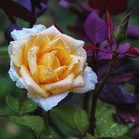 Чайная роза :: Ksyusha Pav