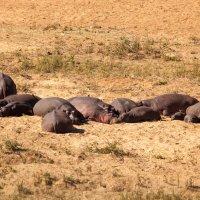 Южная Африка. Национальные парки.  Бегемоты. :: Олег Красовский