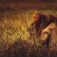 Баю баюшки баю...должны все звери...даже львы! Танзания... :: Александр Вивчарик