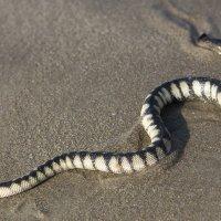 индия. гоа.морская змея. :: юрий макаров