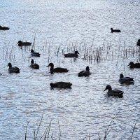 Утки на озере :: Маргарита Батырева