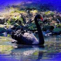 Чёрный лебедь :: Nina Yudicheva